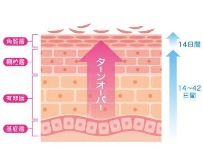 ターンオーバーの仕組みを表した画像