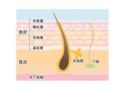 毛穴の構造