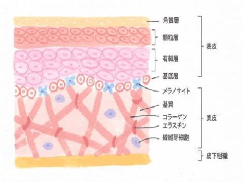 肌 組織図