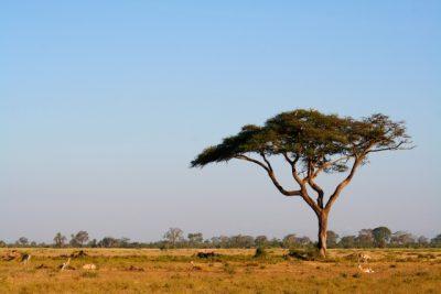 アルガンオイルの木