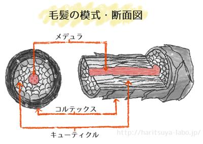 髪内部の模式図