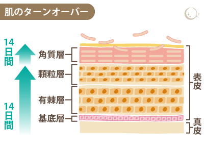 肌のターンオーバー(C河合)