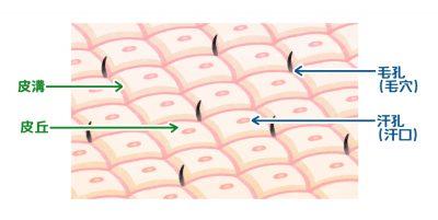 毛穴の皮溝や皮丘などの参考画像