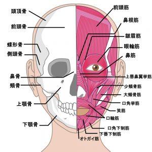 顔の筋肉のイラスト