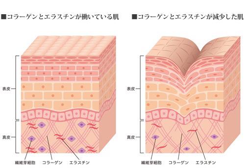 コラーゲンとエラスチンが働いている肌、いない肌