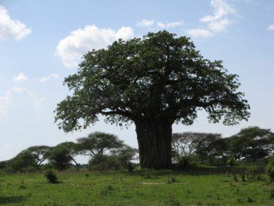 バオバオオイルの木