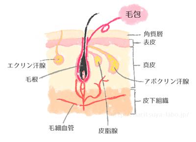 毛のメカニズム