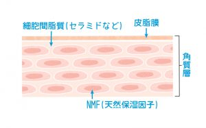 セラミドと天然保湿因子の構層イラスト