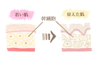 幹細胞イラスト